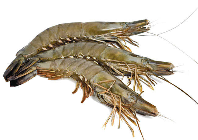 Indian authority supplies black tiger shrimp seeds to boost