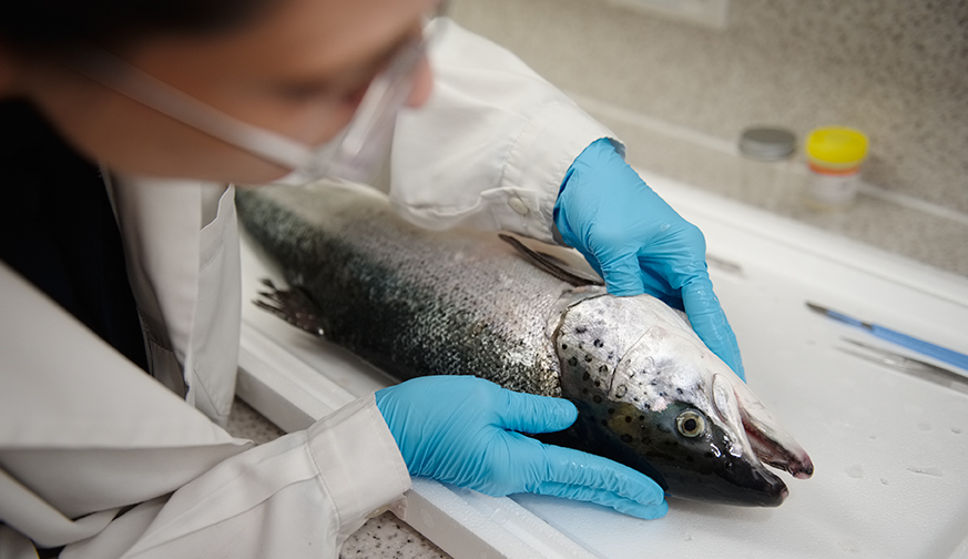 The project consortium hopes to identify early warning signs of CMS in salmon (Credit: Scottish Aquaculture Innovation Centre)